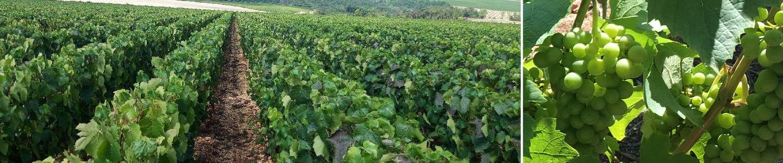 Passy le clou terroir Frankrijk Bourgogne Chablis